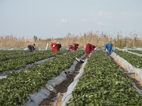 Strawberry needle contamination: Industry to get $1m Federal Government assistance package